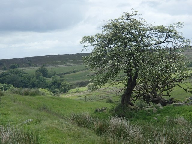 Hawthorn tree and moorland view