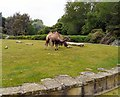 SD3335 : Camels at Blackpool Zoo by Gerald England