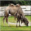 SD3335 : Camel at Blackpool Zoo by Gerald England