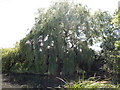 TM3036 : Willow Tree at Gulpher Pond by Hamish Griffin