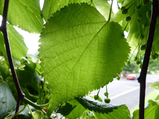 Leaf of Broad leafed lime, Tillia