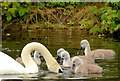 J3675 : Swan and cygnets, Victoria Park, Belfast (June 2014) by Albert Bridge