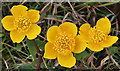 NM4884 : Marsh Marigold (Caltha palustris) by Anne Burgess
