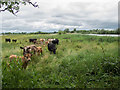 TL3470 : Cows in Fen Drayton Lakes by Kim Fyson