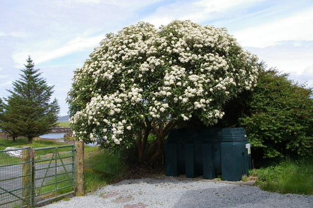 "New Zealand ""holly"" (Olearia macrodonta)"