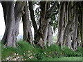 NZ0288 : Beech trees on old boundary near Gallows Hill by Andrew Curtis