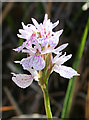 NG4920 : Heath Spotted Orchid (Dactylorhiza maculata) by Anne Burgess