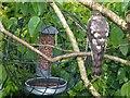 SO1107 : Female Sparrowhawk, Rhymney by Robin Drayton
