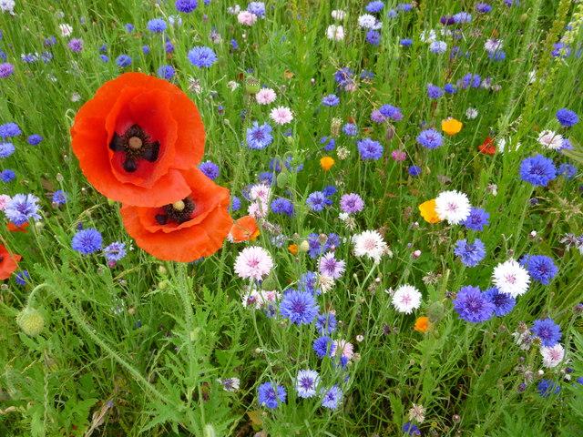 Poppies - The Botanic Garden, Cambridge