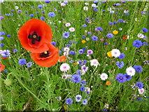 TL4557 : Poppies - The Botanic Garden, Cambridge by Sandra Humphrey