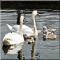 SJ8598 : Swans with cygnets by Gerald England