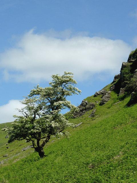 Hawthorn on the hillside, Cwm Irfon, Powys