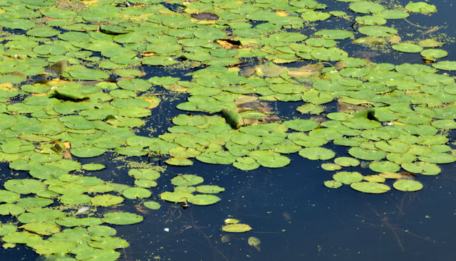 Water lilies, the Waterworks, Belfast (June 2014)