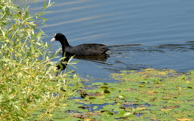 Coot and water lilies, the Waterworks, Belfast (June 2014)