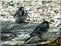 NR8468 : Two young Pied wagtails by sylvia duckworth