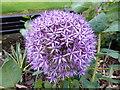 SJ8594 : Allium flower by Bob Harvey