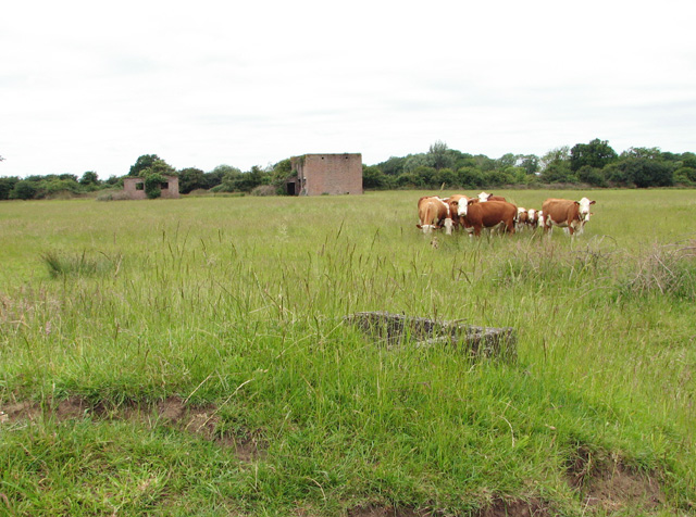 Cattle grazing on the  former Communal site A of RAF Shipdham