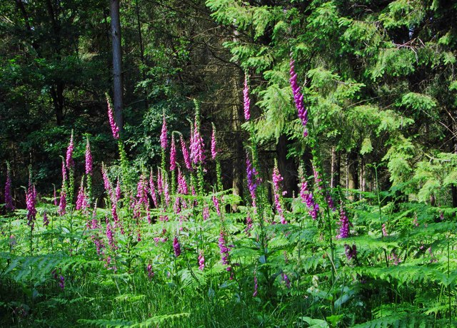 Foxgloves in the Wyre Forest, near Buttonoak