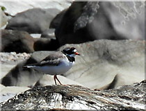 NR7066 : Ringed Plover at Cretshengan Bay by sylvia duckworth