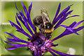 SO1252 : Bumble Bee on Cornflower, Cregrina, Powys by Christine Matthews