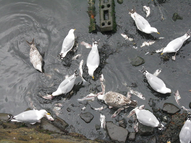 Gulls feeding at Crail Harbour