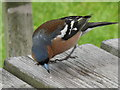 SW8458 : Chaffinch grabs crumbs on picnic table by David Hawgood