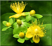 J4681 : Tutsan flowers and berries, Crawfordsburn (June 2014) by Albert Bridge