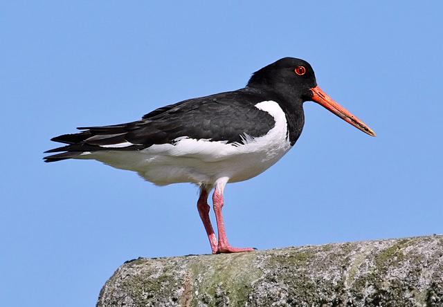 An oystercatcher at East Fortune