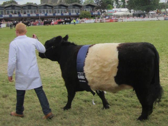 Champion Belted Galloway at the 2014 Royal Highland Show