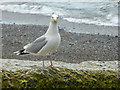 SN5882 : Beach with Herring Gull, Aberystwyth, Ceredigion by Christine Matthews
