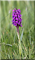 NJ2270 : A purple orchid at Lossiemouth by Walter Baxter