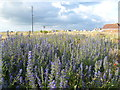 TR0818 : Viper's bugloss at Dungeness by Marathon
