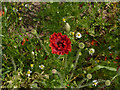SK5637 : Poppy alongside the tramway by Alan Murray-Rust