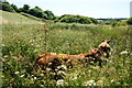 SW6621 : Cattle in the long grass by Bill Boaden