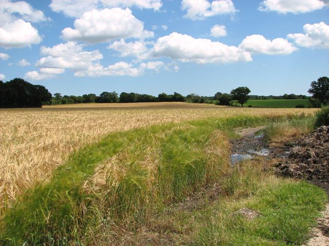 Barley crop field near Holton village