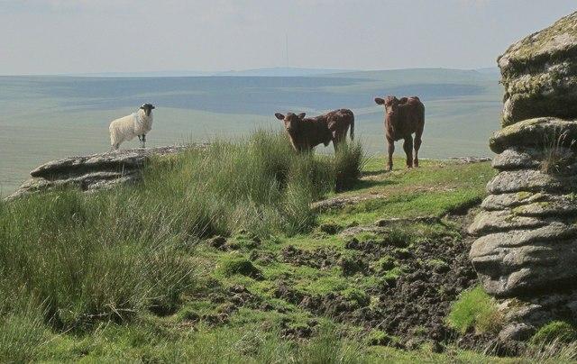 Ewe and calves, Green Tor