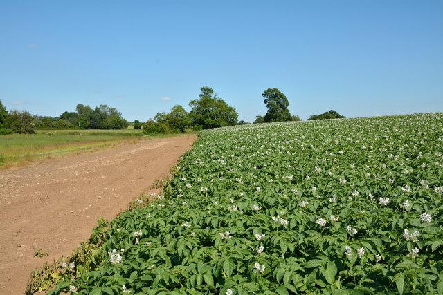 Potato field with public footpath