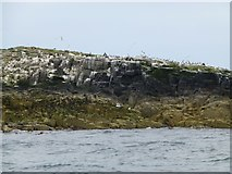 NU2235 : Gulls, guillemots and shags on The Thorn by Russel Wills