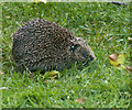 SD5300 : Our new resident hedgehog is still a little camera shy by Ian Greig
