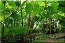 SO3656 : Inside the Giant Rhubarb by Des Blenkinsopp