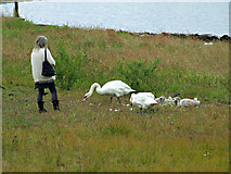 NS3174 : Family of swans at Port Glasgow by Thomas Nugent