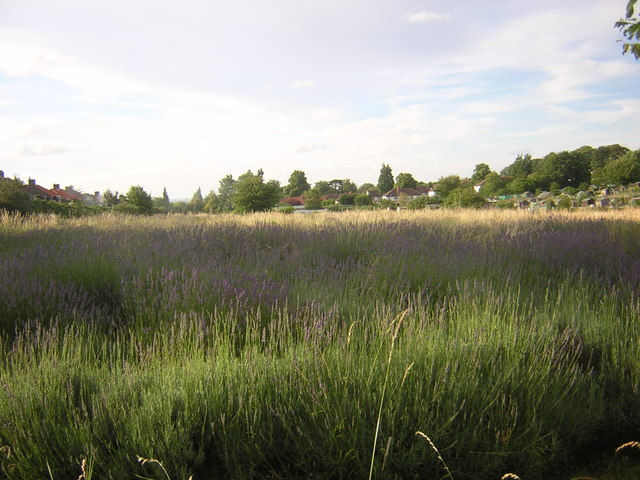 Lavender meadow and allotments, behind the houses on Stanley Square