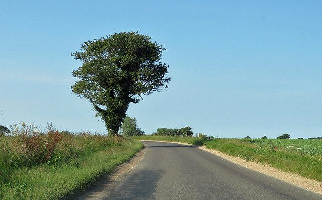 Ivy-clad oak tree