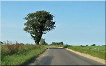 TG0337 : Ivy-clad oak tree by Pauline E