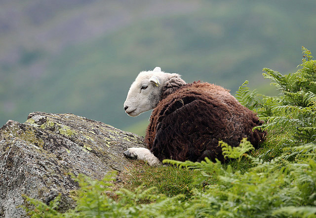 A herdwick sheep at Dunmail Raise