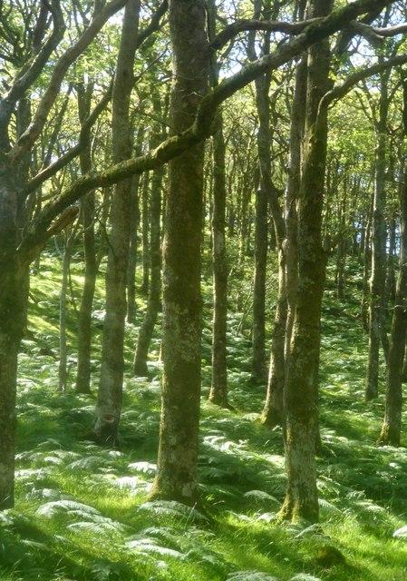 Coed derw yn Islaw'r Dref / Oak trees at Islaw'r Dref