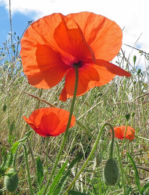 Backlit poppy