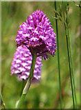 TA0390 : Pyramidal orchid beside the miniature railway by Pauline E