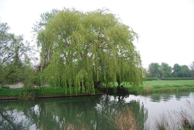 Weeping Willow on the banks of the River Cam