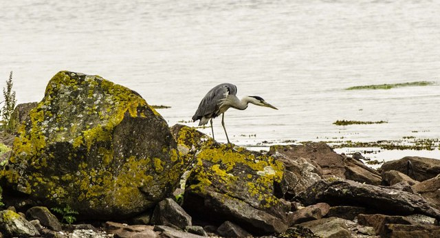Heron by Campbeltown Loch